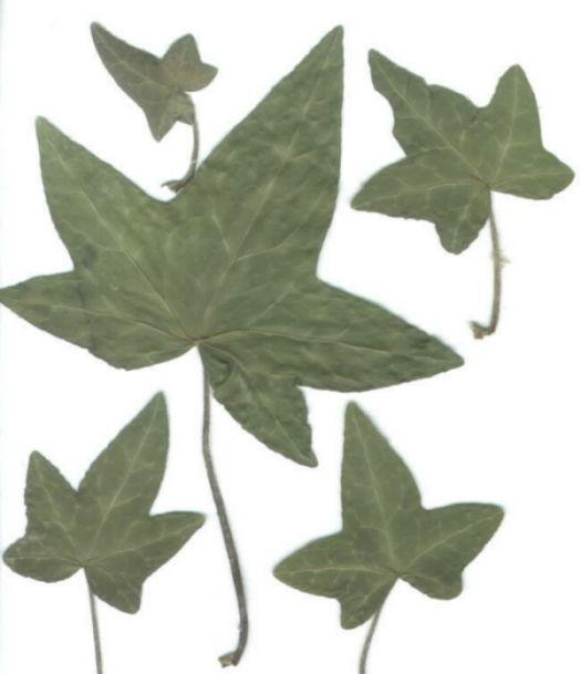 rock ivy